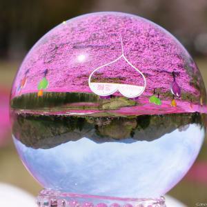 逆さ富士!|富士芝桜まつり 2021 2/2