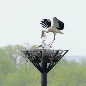 2週ぶりのコウノトリ|人工巣塔
