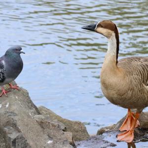サカツラガン|大池親水公園