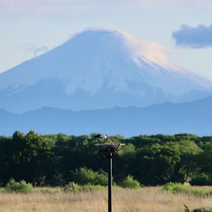 コウノトリ&富士山