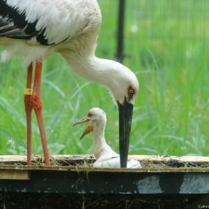 孵化15日目の雛 コウノトリの里