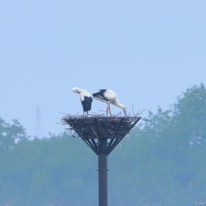 りょう♂ & の ぞ み♀ コウノトリ人工巣塔
