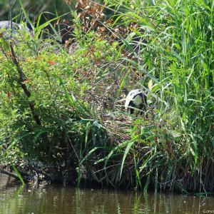 アオサギの雛 羽生水郷公園