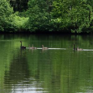 黒鳥たち♪ 上野沼