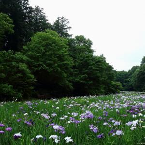 花菖蒲園 智光山公園