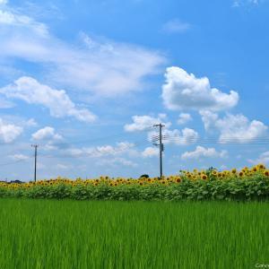 野木のひまわり畑