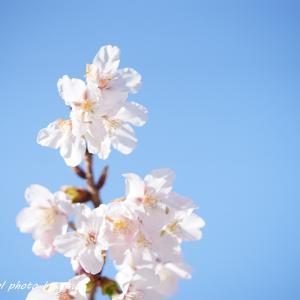 青空を背景に桜の花びらたちが踊る