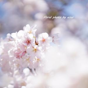 ふんわり可愛い玉縄桜
