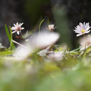 花姿も美しい雪割一華(ユキワリイチゲ)