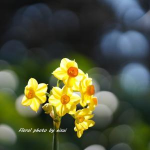 凛と美しい黄水仙(きすいせん)