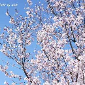 桜咲くお彼岸のお中日