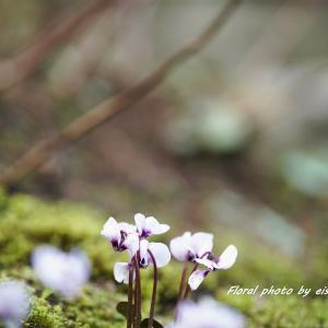 原種シクラメン楚々と咲く♪