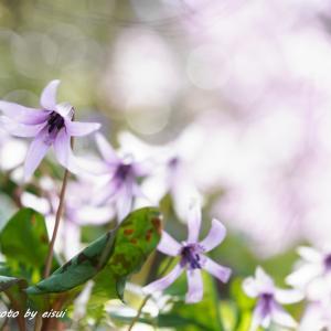 想いでのカタクリの花 №2