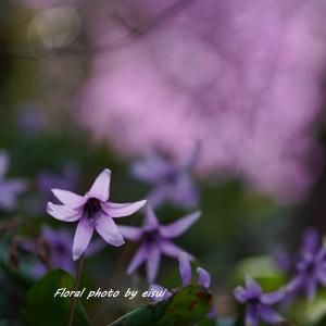 """""""目覚め、そして"""" カタクリの花"""
