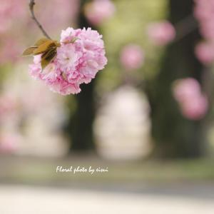 桜は来年も帰ってきます。人の命は帰ってきません!