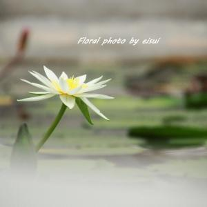 水の妖精、熱帯睡蓮