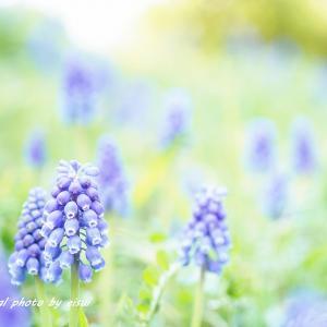 ブルーのムスカリが好き(^^♪