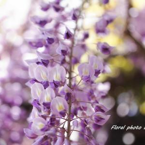 想い出の藤の花