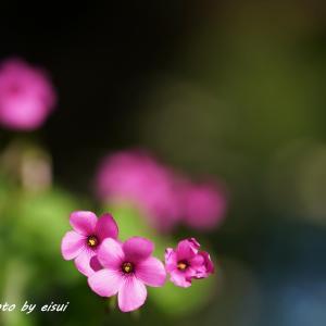 可愛いピンクの花カタバミ(^^♪