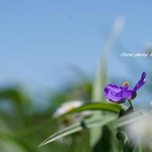 青空に映える『紫つゆ草』