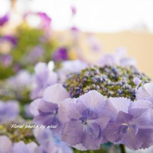 今日のプチハッピー『ガクアジサイ星の桜』が仲間入り