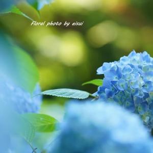 紫陽花ブルーに魅せられて♪