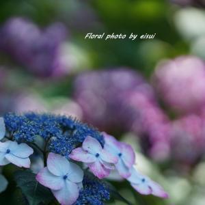 紫陽花ブルーに魅せられてⅡ