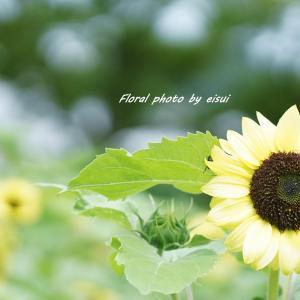 サンフラワー(Sunflower)