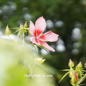 風と戯れし紅葉葵(モミジアオイ)