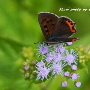 西洋フジバカマと蝶