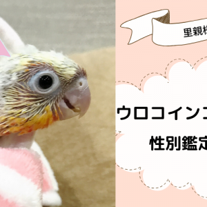 【ウロコインコ里親募集】サンチークの雛5羽の性別がわかりました