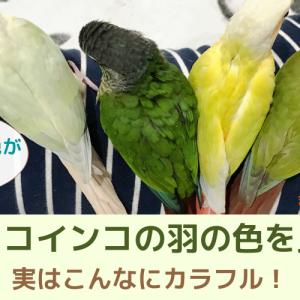 【ウロコインコカラー】羽の色を種類で比較してみました