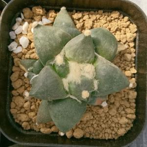 今日の植え替えは変わり疣の青磁牡丹と・・・