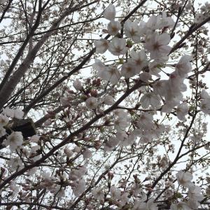 曇り空と桜とちょっとだけ猫さん。
