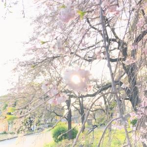 検診の帰り桜がとっても綺麗✨