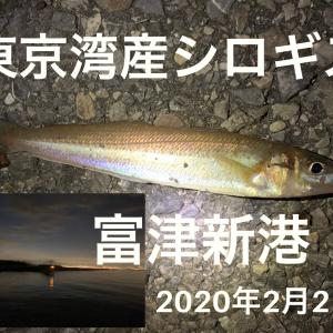 東京湾のシロギス