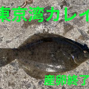 東京湾のカレイ