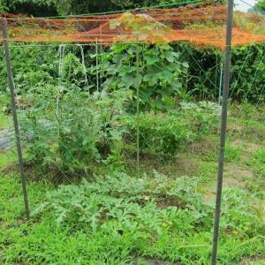 本日の菜園