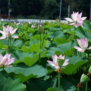 蓮の花 Ⅱ