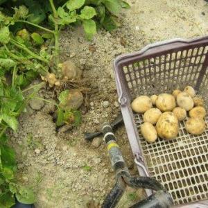 ジャガイモ全収穫とインゲン