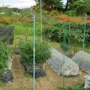 レタスを植えました