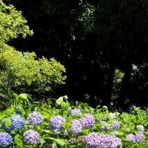 ❁ 紫陽花