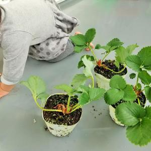 いちごの苗の栽培セットが届いた♪育て方も教えてくれるらしい