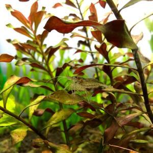 ヤマトヌマエビが大量死!原因と対策を探る!