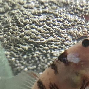 【今日のベタ】ベタの卵を発見!稚魚が孵化!
