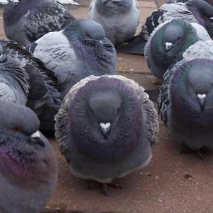 【画像】鳩さん、寒さでパンパンになる「かわヨ」「スズメもハラディ」「首どうなってんねん」「焼き鳥にして食べたい」