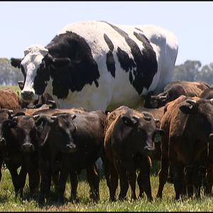 【朗報】牛さん、デカくなりすぎて屠殺回避に成功「バケモノじゃねえかw」「威圧感ハンパなくて草」「伝説のネームドモンスター」
