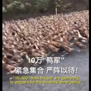【郎報】中国、バッタ4億匹の襲来に10万羽のアヒル部隊で対抗へ「10万鴨緊急集合!で草」「これは正規軍」「アヒルさん過去最高に頼もしい」
