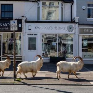 【朗報】イギリス、コロナのせいでヤギに街を乗っ取られる「平和やな」「ゴートシミュレーターの世界」「人間って地球にとっては毒なんやなって」