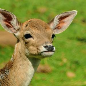 【悲報】奈良のシカが暴徒化、鹿せんべいを求め各地を荒らし回る「鹿の王国と化しとる」「奈良から一歩でも出たら轢け」